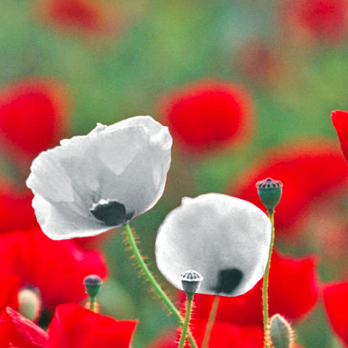 white poppies for schools resource